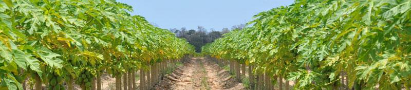 Plantio de mamão papaya - Bretas